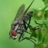 Žiedenė - Hylemya vagans  | Fotografijos autorius : Gintautas Steiblys | © Macrogamta.lt | Šis tinklapis priklauso bendruomenei kuri domisi makro fotografija ir fotografuoja gyvąjį makro pasaulį.