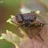Krantinukė - Ochthera mantis  | Fotografijos autorius : Gintautas Steiblys | © Macrogamta.lt | Šis tinklapis priklauso bendruomenei kuri domisi makro fotografija ir fotografuoja gyvąjį makro pasaulį.