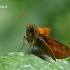 Miškinis storgalvis - Ochlodes sylvanus  | Fotografijos autorius : Gintautas Steiblys | © Macrogamta.lt | Šis tinklapis priklauso bendruomenei kuri domisi makro fotografija ir fotografuoja gyvąjį makro pasaulį.