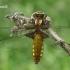 Plokščioji skėtė - Libellula depressa ♀ | Fotografijos autorius : Gintautas Steiblys | © Macrogamta.lt | Šis tinklapis priklauso bendruomenei kuri domisi makro fotografija ir fotografuoja gyvąjį makro pasaulį.