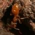 Geltonoji dirvinė skruzdėlė - Lasius flavus  | Fotografijos autorius : Gintautas Steiblys | © Macrogamta.lt | Šis tinklapis priklauso bendruomenei kuri domisi makro fotografija ir fotografuoja gyvąjį makro pasaulį.