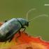 Nakvišinė didspragė - Altica oleracea | Fotografijos autorius : Gintautas Steiblys | © Macrogamta.lt | Šis tinklapis priklauso bendruomenei kuri domisi makro fotografija ir fotografuoja gyvąjį makro pasaulį.