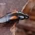 Trumpasparnis - Tachinus subterraneus  | Fotografijos autorius : Gintautas Steiblys | © Macrogamta.lt | Šis tinklapis priklauso bendruomenei kuri domisi makro fotografija ir fotografuoja gyvąjį makro pasaulį.