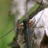 Bitkrėslinis stiebalindis - Phytoecia virgula  | Fotografijos autorius : Gintautas Steiblys | © Macrogamta.lt | Šis tinklapis priklauso bendruomenei kuri domisi makro fotografija ir fotografuoja gyvąjį makro pasaulį.