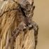Kamieninis vikrūnas - Philodromus margaritatus  | Fotografijos autorius : Gintautas Steiblys | © Macrogamta.lt | Šis tinklapis priklauso bendruomenei kuri domisi makro fotografija ir fotografuoja gyvąjį makro pasaulį.