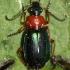 Žaliagalvis lapažygis - Lebia chlorocephala  | Fotografijos autorius : Algirdas Vilkas | © Macrogamta.lt | Šis tinklapis priklauso bendruomenei kuri domisi makro fotografija ir fotografuoja gyvąjį makro pasaulį.