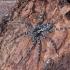 Miškinis puvėsinukas - Acantholycosa lignaria  | Fotografijos autorius : Algirdas Vilkas | © Macrogamta.lt | Šis tinklapis priklauso bendruomenei kuri domisi makro fotografija ir fotografuoja gyvąjį makro pasaulį.