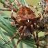 Araneus angulatus - Kauburiuotasis kryžiuotis | Fotografijos autorius : Algirdas Vilkas | © Macrogamta.lt | Šis tinklapis priklauso bendruomenei kuri domisi makro fotografija ir fotografuoja gyvąjį makro pasaulį.