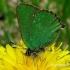 Callophrys rubi - Žalsvasis varinukas | Fotografijos autorius : Algirdas Vilkas | © Macrogamta.lt | Šis tinklapis priklauso bendruomenei kuri domisi makro fotografija ir fotografuoja gyvąjį makro pasaulį.