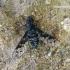 Anthrax varius - Zvimbeklė | Fotografijos autorius : Algirdas Vilkas | © Macrogamta.lt | Šis tinklapis priklauso bendruomenei kuri domisi makro fotografija ir fotografuoja gyvąjį makro pasaulį.
