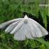 Siona lineata - Gyslotasis sprindžius | Fotografijos autorius : Algirdas Vilkas | © Macrogamta.lt | Šis tinklapis priklauso bendruomenei kuri domisi makro fotografija ir fotografuoja gyvąjį makro pasaulį.