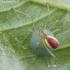 Enoplognatha ovata - Paprastasis pinkliavoris | Fotografijos autorius : Algirdas Vilkas | © Macrogamta.lt | Šis tinklapis priklauso bendruomenei kuri domisi makro fotografija ir fotografuoja gyvąjį makro pasaulį.