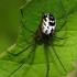 Neriene emphana - Gelsvarudis lygumvoris | Fotografijos autorius : Algirdas Vilkas | © Macrogamta.lt | Šis tinklapis priklauso bendruomenei kuri domisi makro fotografija ir fotografuoja gyvąjį makro pasaulį.