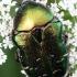Paprastasis auksavabalis - Cetonia aurata  | Fotografijos autorius : Algirdas Vilkas | © Macrogamta.lt | Šis tinklapis priklauso bendruomenei kuri domisi makro fotografija ir fotografuoja gyvąjį makro pasaulį.