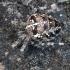 Araneus diadematus - Paprastasis kryžiuotis | Fotografijos autorius : Algirdas Vilkas | © Macrogamta.lt | Šis tinklapis priklauso bendruomenei kuri domisi makro fotografija ir fotografuoja gyvąjį makro pasaulį.
