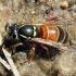 Vespula rufa - Rudoji vapsva | Fotografijos autorius : Algirdas Vilkas | © Macrogamta.lt | Šis tinklapis priklauso bendruomenei kuri domisi makro fotografija ir fotografuoja gyvąjį makro pasaulį.
