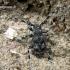 Pilkšys - Aegomorphus obscurior | Fotografijos autorius : Algirdas Vilkas | © Macrogamta.lt | Šis tinklapis priklauso bendruomenei kuri domisi makro fotografija ir fotografuoja gyvąjį makro pasaulį.
