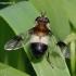 Žiedmusė - Leucozona lucorum | Fotografijos autorius : Algirdas Vilkas | © Macrogamta.lt | Šis tinklapis priklauso bendruomenei kuri domisi makro fotografija ir fotografuoja gyvąjį makro pasaulį.