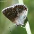 Aricia eumedon - Baltajuostis melsvys | Fotografijos autorius : Algirdas Vilkas | © Macrogamta.lt | Šis tinklapis priklauso bendruomenei kuri domisi makro fotografija ir fotografuoja gyvąjį makro pasaulį.