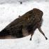 Alksninė cikada - Aphrophora alni  | Fotografijos autorius : Algirdas Vilkas | © Macrogamta.lt | Šis tinklapis priklauso bendruomenei kuri domisi makro fotografija ir fotografuoja gyvąjį makro pasaulį.