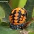 Coccinella septempunctata - Septyntaškė boružė   Fotografijos autorius : Algirdas Vilkas   © Macrogamta.lt   Šis tinklapis priklauso bendruomenei kuri domisi makro fotografija ir fotografuoja gyvąjį makro pasaulį.