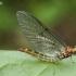 Lašalas - Ephemeroptera   Fotografijos autorius : Algirdas Vilkas   © Macrogamta.lt   Šis tinklapis priklauso bendruomenei kuri domisi makro fotografija ir fotografuoja gyvąjį makro pasaulį.