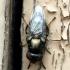 Physiphora alceae - Juostasparnė musė | Fotografijos autorius : Algirdas Vilkas | © Macrogamta.lt | Šis tinklapis priklauso bendruomenei kuri domisi makro fotografija ir fotografuoja gyvąjį makro pasaulį.