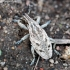 Dagilinis straubliukas - Cleonis pigra  | Fotografijos autorius : Algirdas Vilkas | © Macrogamta.lt | Šis tinklapis priklauso bendruomenei kuri domisi makro fotografija ir fotografuoja gyvąjį makro pasaulį.