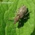 Tanymecus palliatus - Pilkasis runkelinis straubliukas | Fotografijos autorius : Algirdas Vilkas | © Macrogamta.lt | Šis tinklapis priklauso bendruomenei kuri domisi makro fotografija ir fotografuoja gyvąjį makro pasaulį.