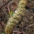 Lasiocampa trifolii - Dobilinis verpikas   Fotografijos autorius : Algirdas Vilkas   © Macrogamta.lt   Šis tinklapis priklauso bendruomenei kuri domisi makro fotografija ir fotografuoja gyvąjį makro pasaulį.