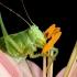 Žiogas -Tettigonia sp. | Fotografijos autorius : Alma Totorytė | © Macrogamta.lt | Šis tinklapis priklauso bendruomenei kuri domisi makro fotografija ir fotografuoja gyvąjį makro pasaulį.