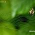 Kryžiuotis - Araneus sp.   Fotografijos autorius : Alma Totorytė   © Macrogamta.lt   Šis tinklapis priklauso bendruomenei kuri domisi makro fotografija ir fotografuoja gyvąjį makro pasaulį.