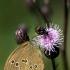 Aphantopus hyperanthus - Tamsusis satyras | Fotografijos autorius : Alma Totorytė | © Macrogamta.lt | Šis tinklapis priklauso bendruomenei kuri domisi makro fotografija ir fotografuoja gyvąjį makro pasaulį.