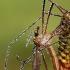 Tipulidae - Ilgakojis uodas | Fotografijos autorius : Alma Totorytė | © Macrogamta.lt | Šis tinklapis priklauso bendruomenei kuri domisi makro fotografija ir fotografuoja gyvąjį makro pasaulį.