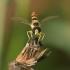 Sphaerophoria scripta - Žiedmusė | Fotografijos autorius : Lukas Jonaitis | © Macrogamta.lt | Šis tinklapis priklauso bendruomenei kuri domisi makro fotografija ir fotografuoja gyvąjį makro pasaulį.