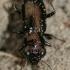 Notiophilus palustris - Pelkinis žvilgžygis | Fotografijos autorius : Lukas Jonaitis | © Macrogamta.lt | Šis tinklapis priklauso bendruomenei kuri domisi makro fotografija ir fotografuoja gyvąjį makro pasaulį.