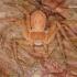 Philodromus fuscomarginatus - Tamsusis vikrūnas | Fotografijos autorius : Lukas Jonaitis | © Macrogamta.lt | Šis tinklapis priklauso bendruomenei kuri domisi makro fotografija ir fotografuoja gyvąjį makro pasaulį.