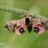 Smerinthus ocellatus - Akiuotasis sfinksas | Fotografijos autorius : Lukas Jonaitis | © Macrogamta.lt | Šis tinklapis priklauso bendruomenei kuri domisi makro fotografija ir fotografuoja gyvąjį makro pasaulį.