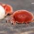 Trombidium holosericeum - Aksominė erkė   Fotografijos autorius : Lukas Jonaitis   © Macrogamta.lt   Šis tinklapis priklauso bendruomenei kuri domisi makro fotografija ir fotografuoja gyvąjį makro pasaulį.