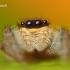 Marpissa radiata - Juostuotasis margašoklis | Fotografijos autorius : Lukas Jonaitis | © Macrogamta.lt | Šis tinklapis priklauso bendruomenei kuri domisi makro fotografija ir fotografuoja gyvąjį makro pasaulį.