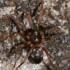 Phrurolithus festivus - Puošnusis keršavoris | Fotografijos autorius : Lukas Jonaitis | © Macrogamta.lt | Šis tinklapis priklauso bendruomenei kuri domisi makro fotografija ir fotografuoja gyvąjį makro pasaulį.