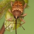 Curculio nucum - Riešutinis vaisiastraublis | Fotografijos autorius : Lukas Jonaitis | © Macrogamta.lt | Šis tinklapis priklauso bendruomenei kuri domisi makro fotografija ir fotografuoja gyvąjį makro pasaulį.