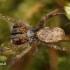 Hyptiotes paradoxus - Trikampiatinklis laidūnas | Fotografijos autorius : Lukas Jonaitis | © Macrogamta.lt | Šis tinklapis priklauso bendruomenei kuri domisi makro fotografija ir fotografuoja gyvąjį makro pasaulį.