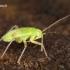 Lygocoris viridis - Žaliašonė žolblakė   Fotografijos autorius : Lukas Jonaitis   © Macrogamta.lt   Šis tinklapis priklauso bendruomenei kuri domisi makro fotografija ir fotografuoja gyvąjį makro pasaulį.