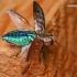 Chrysobothris affinis - Ąžuolinis blizgiavabalis   Fotografijos autorius : Lukas Jonaitis   © Macrogamta.lt   Šis tinklapis priklauso bendruomenei kuri domisi makro fotografija ir fotografuoja gyvąjį makro pasaulį.