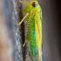 Cikadelė - Kybos sp. | Fotografijos autorius : Lukas Jonaitis | © Macrogamta.lt | Šis tinklapis priklauso bendruomenei kuri domisi makro fotografija ir fotografuoja gyvąjį makro pasaulį.