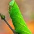 Akiuotasis sfinksas - Smerinthus ocellatus, vikšras | Fotografijos autorius : Lukas Jonaitis | © Macrogamta.lt | Šis tinklapis priklauso bendruomenei kuri domisi makro fotografija ir fotografuoja gyvąjį makro pasaulį.