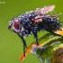 Dygliamusė - Tachinidae | Fotografijos autorius : Lukas Jonaitis | © Macrogamta.lt | Šis tinklapis priklauso bendruomenei kuri domisi makro fotografija ir fotografuoja gyvąjį makro pasaulį.