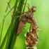 Dvidėmė skėtė - Epitheca bimaculata (Metamorfozė) | Fotografijos autorius : Lukas Jonaitis | © Macrogamta.lt | Šis tinklapis priklauso bendruomenei kuri domisi makro fotografija ir fotografuoja gyvąjį makro pasaulį.