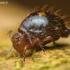 Allacma fusca - Rutuliškoji podūra | Fotografijos autorius : Lukas Jonaitis | © Macrogamta.lt | Šis tinklapis priklauso bendruomenei kuri domisi makro fotografija ir fotografuoja gyvąjį makro pasaulį.
